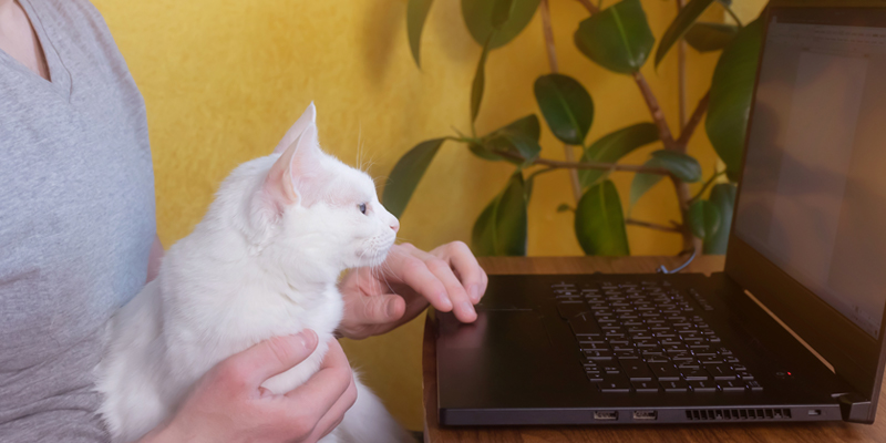 Cat-looking-at-laptop-on-lap-of-boarding-cattery-owner